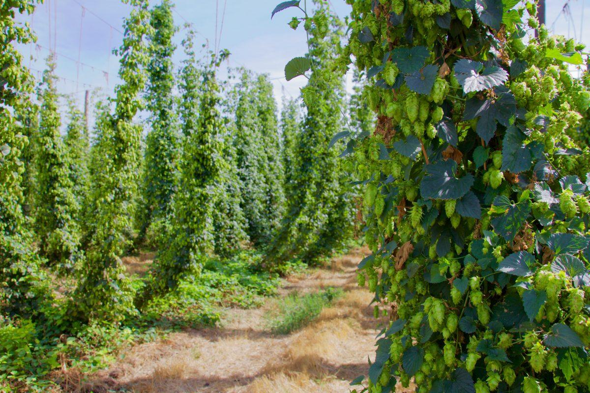 bale breaker brewing hop farm
