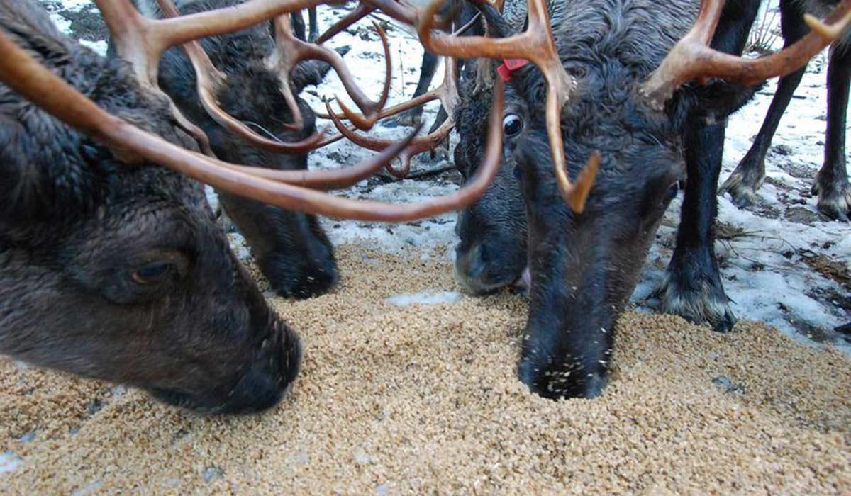 reindeer spent grains