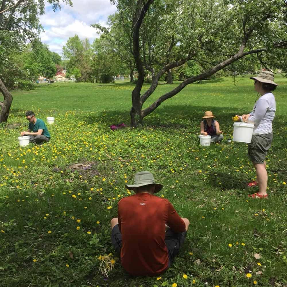 urban foraging dandelions